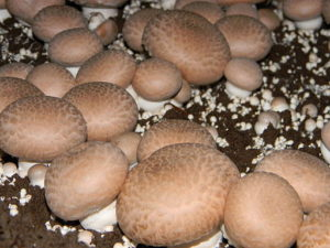 Button mushroom growing