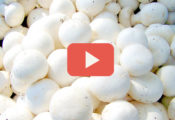 button mushroom cultivation process video